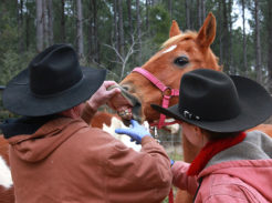 horse getting it teeth checked