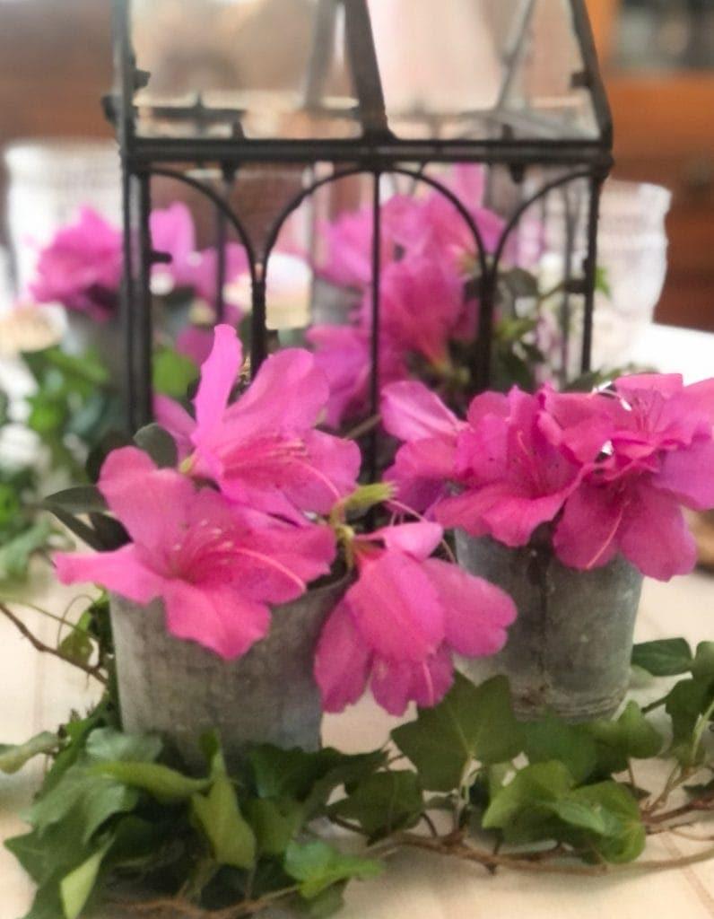 french zinc flower pots holding azaleas on spring table.